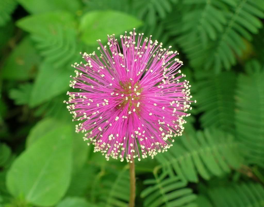pink pom pom