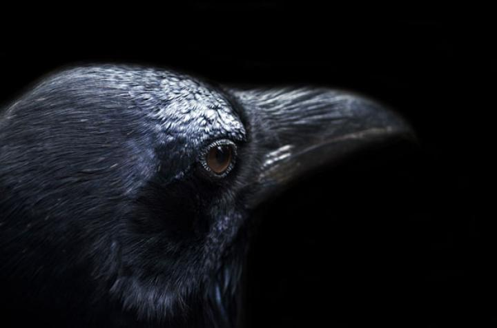 raven, crow, dying, death