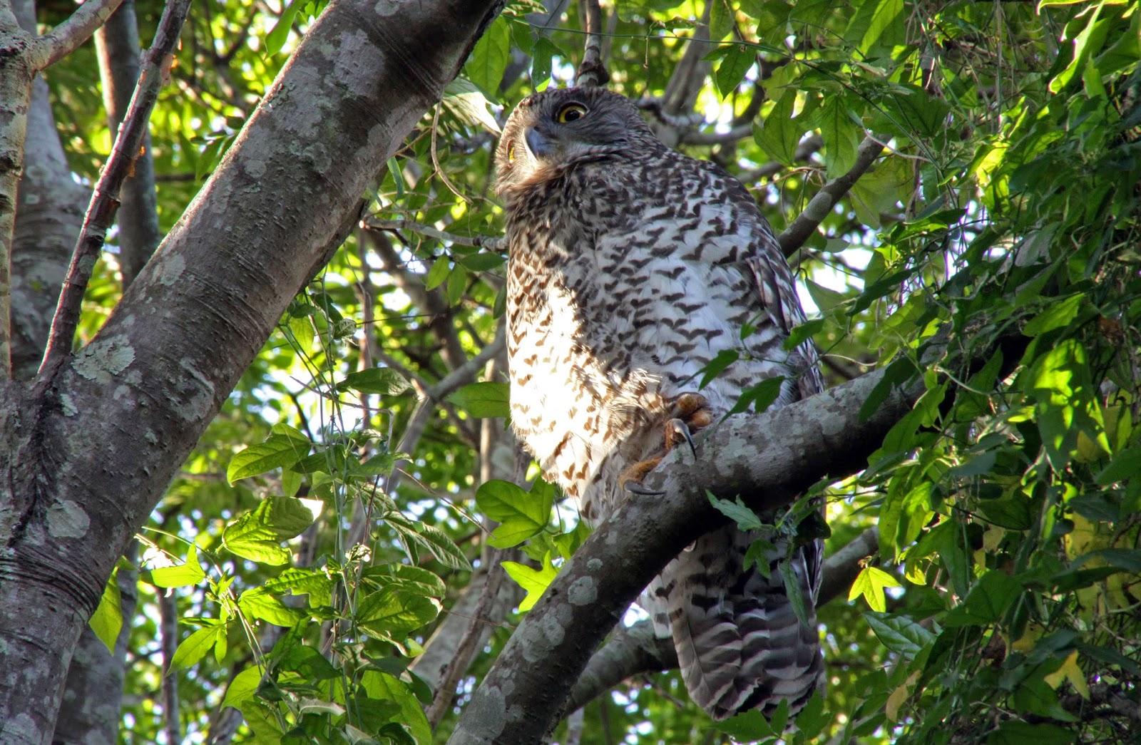 powerful-owl2-25052015