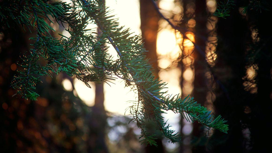 The Bird In The Pine Tree