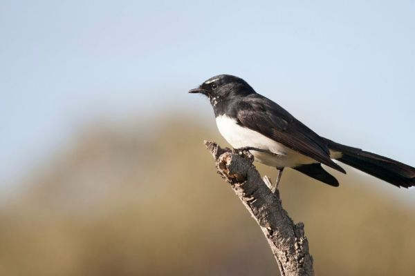 The Willy Wagtail